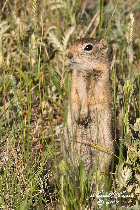 Ground Squirrel 4478 800.jpg