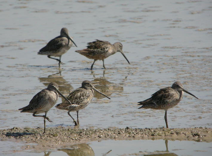 Long-billed Dowitcher 3