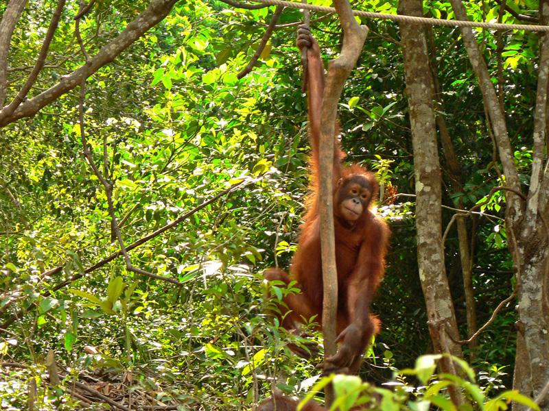 Orangutans of Kota Kinabalu 20 September 2007