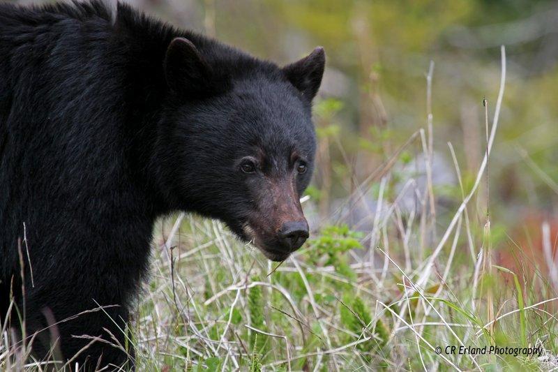 Cautious Bear