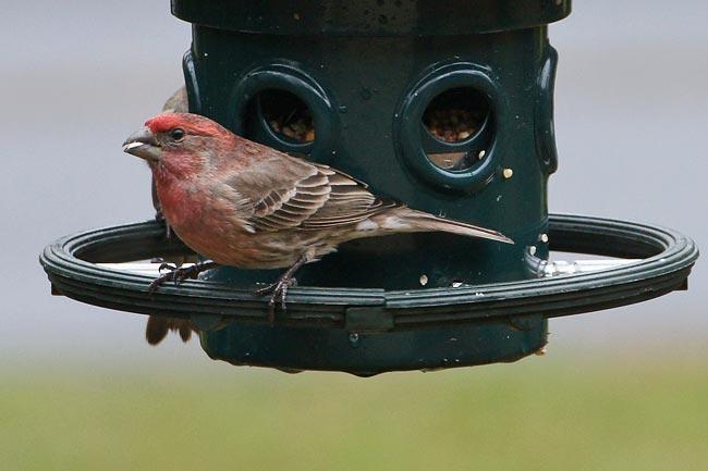 House Finch 1 - male