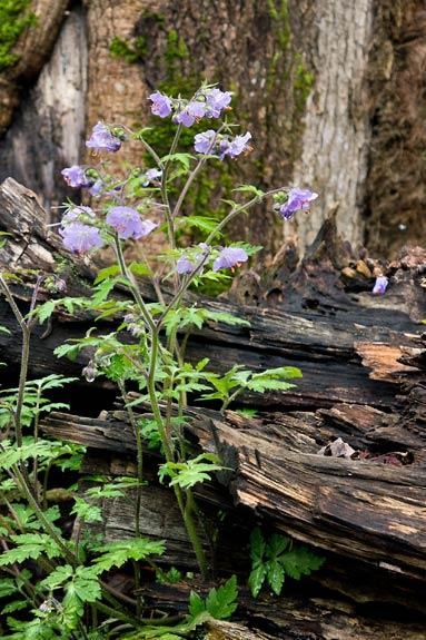 Purple Phacelia 3