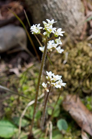 Early Saxifrage 1