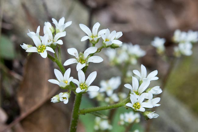 Early Saxifrage 2