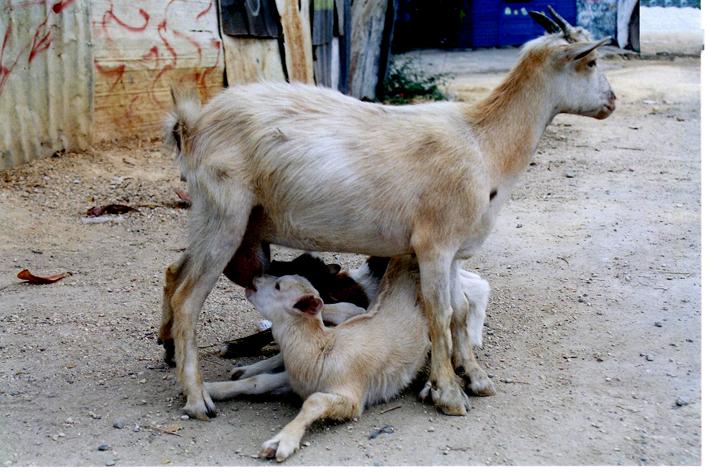 animals in jamaica
