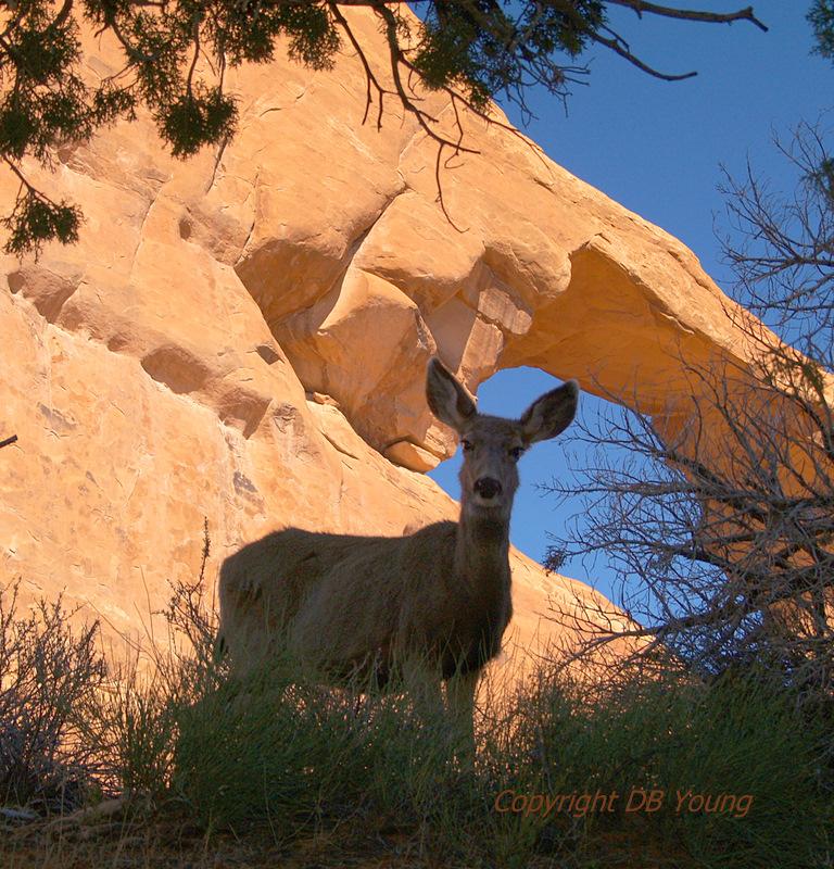 Arches deer for pbase.jpg