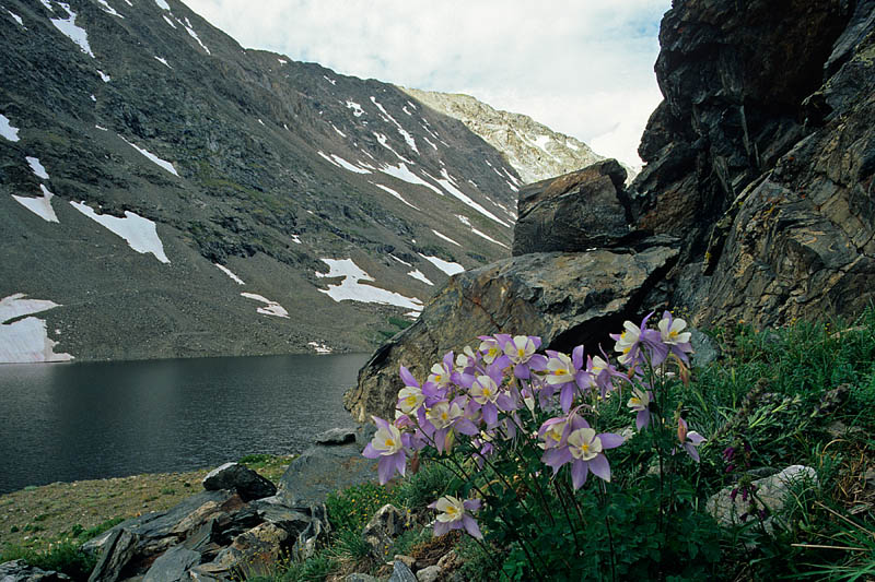 5 Colorado Columbines, Summit County