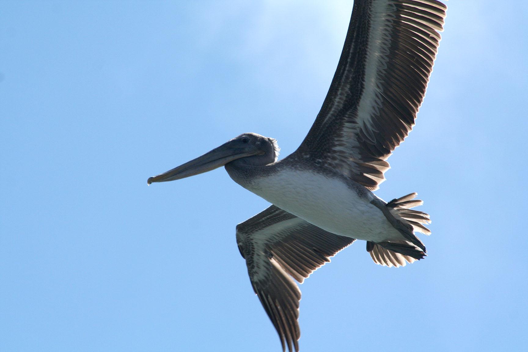 Pelicans of Humboldt Bay 3376.jpg