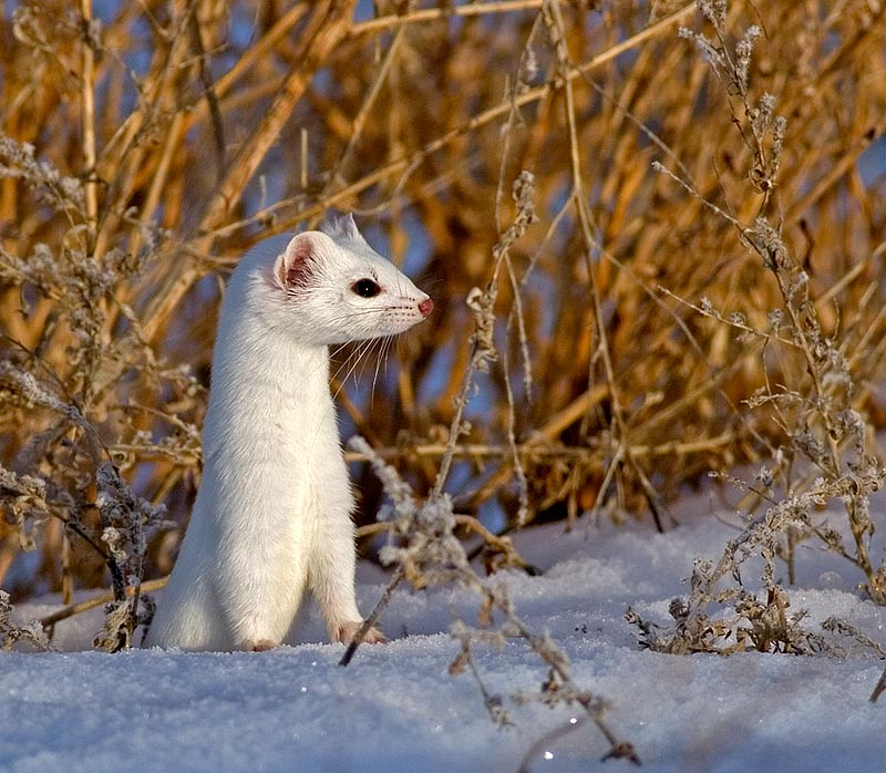 American Marten Species Profile Alaska Department of Fish