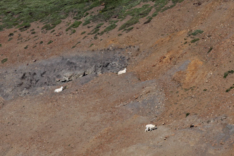 Dall Sheep--very far away!