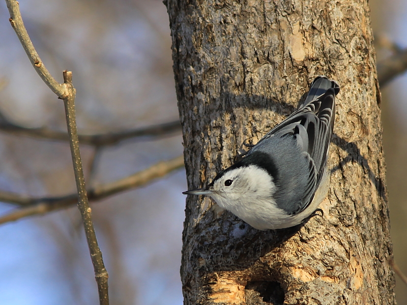 Sitelle a poitrine blanche - White-breasted Nuthatch