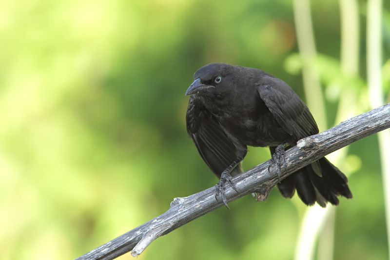 Quiscale - Grackle