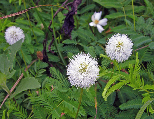 Sensitive Briar (white form)