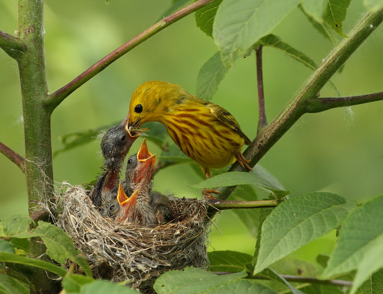 yellow warbler ( C ) -- paruline jaune ( J )