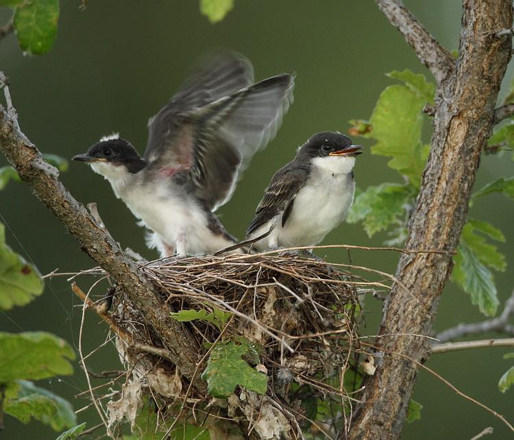 eastern kingbirds ( C )  -- tyran tritri (J )