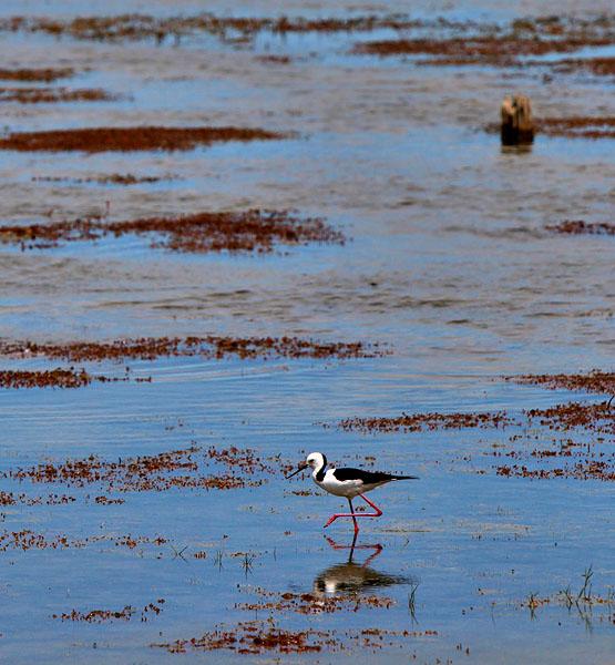 Pied Stilt Lake Alexandrina South Australia.jpg