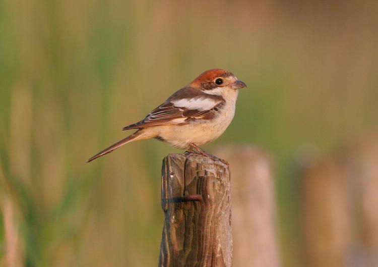 woodchat shrike / roodkopklauwier, Westkapelle