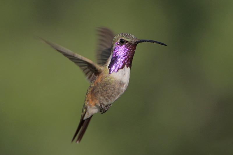 Lucifer Hummingbird Identification, All About Birds, Cornell Lab ...