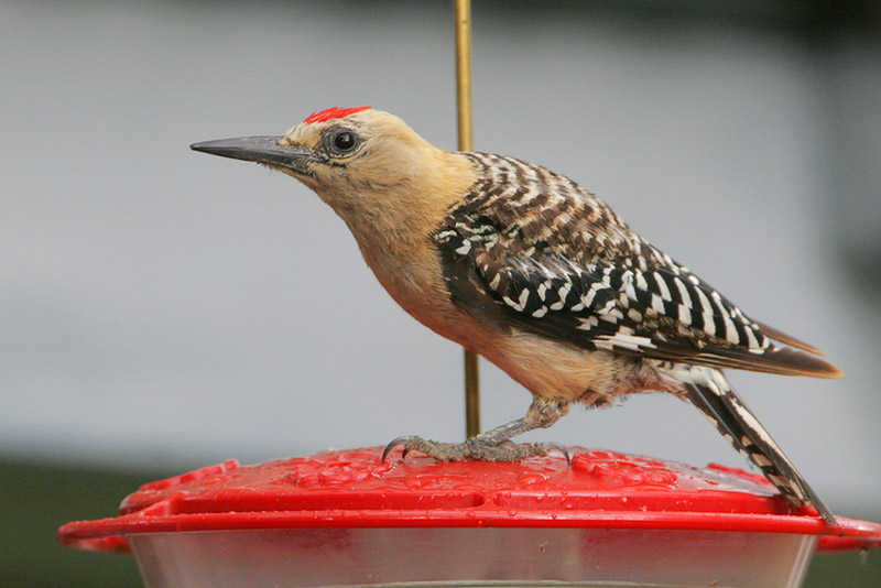 a look at the natural habitat for the gila woodpecker