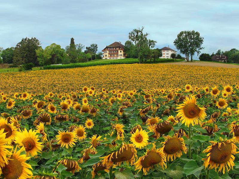 Sunflower 81