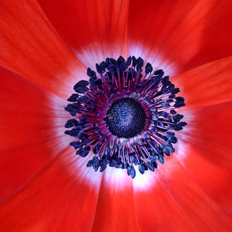 Poppies 34