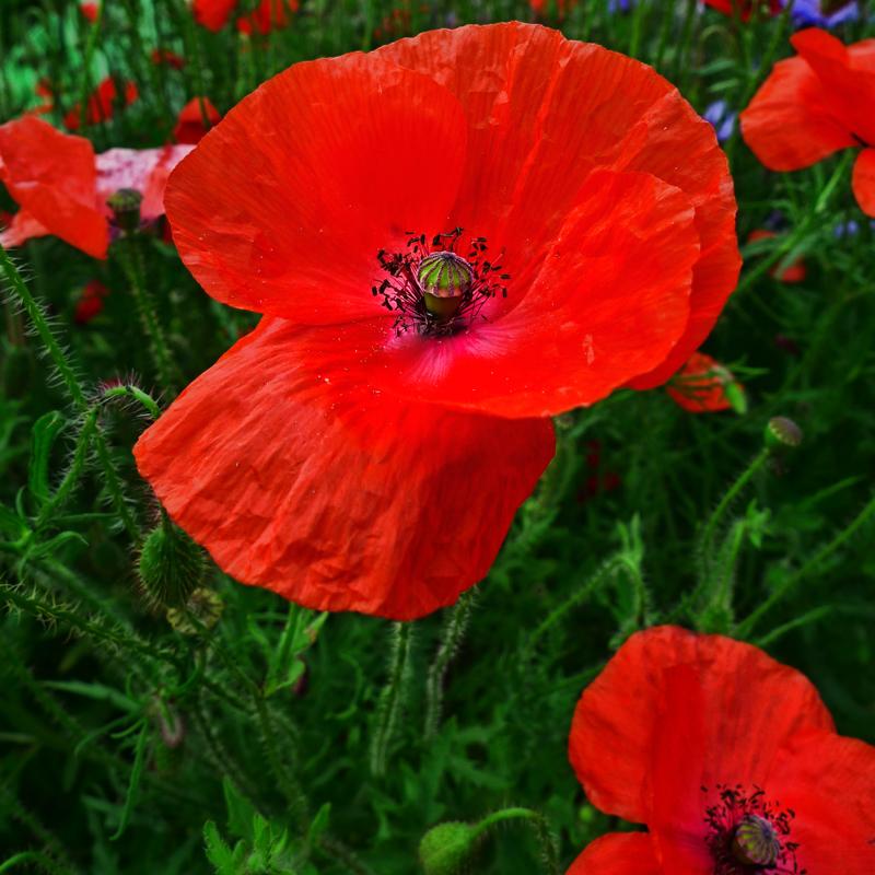 Poppies 38