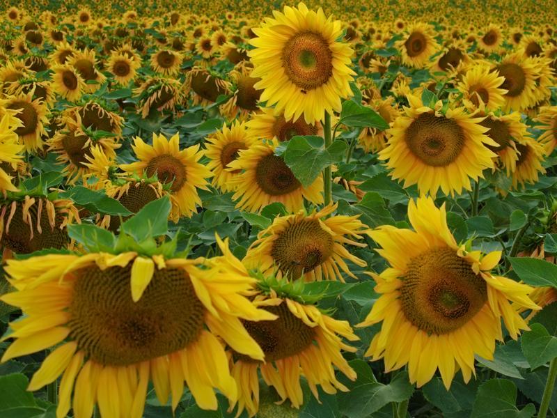 Sunflower 90