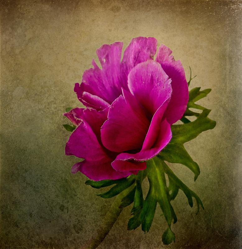 Shy anemone...