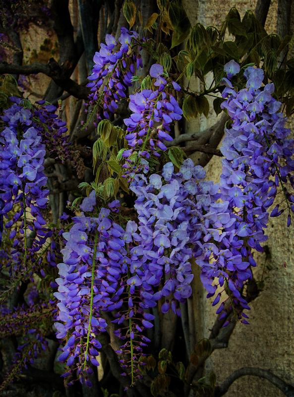 Secret wisteria