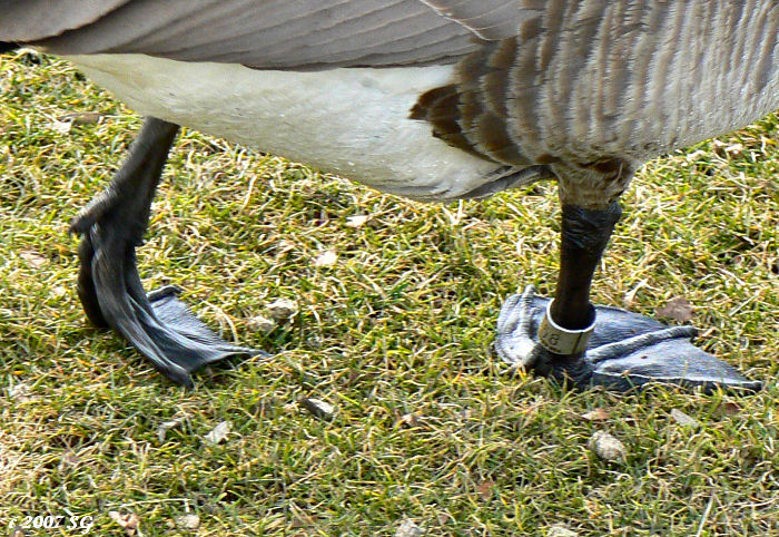 Goose Toed