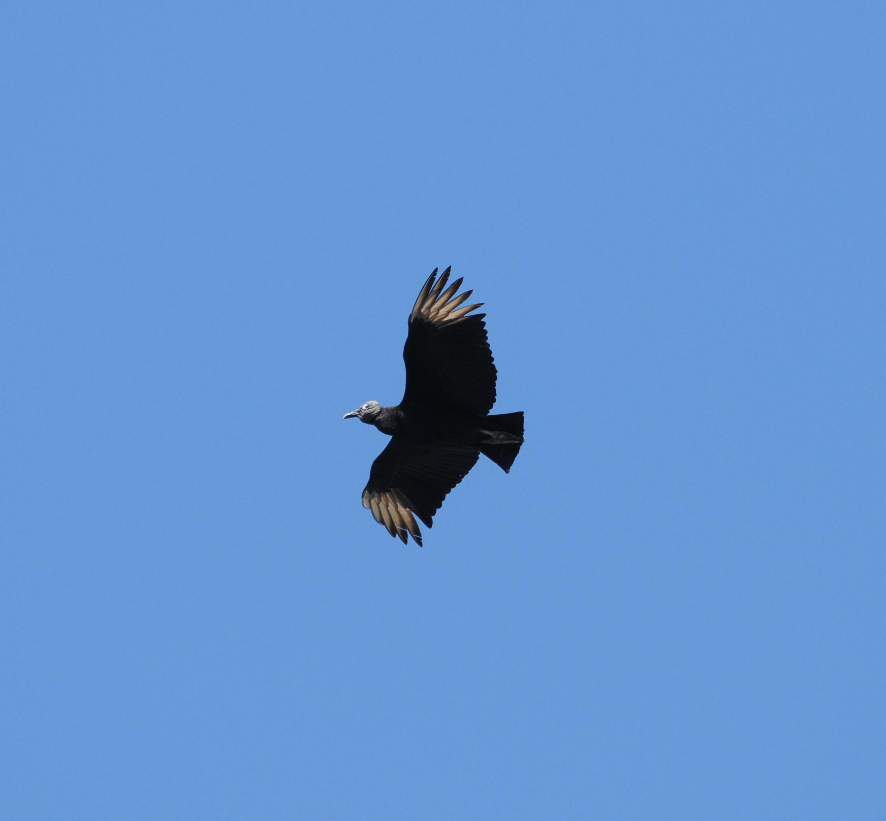 Black Vulture_5_El Sumidero