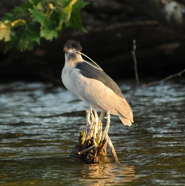 Black-crowned Night Heron adult showing plume length