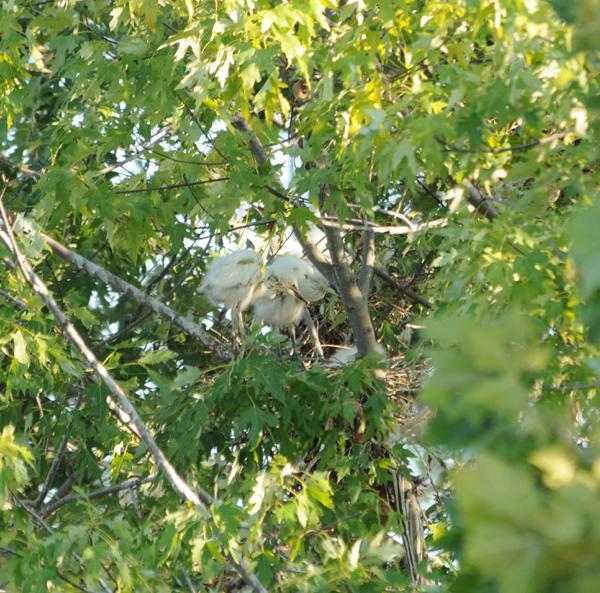 Cattle Egret chicks in nest