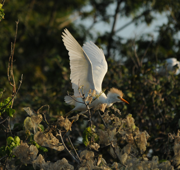 Cattle Egret taking flight