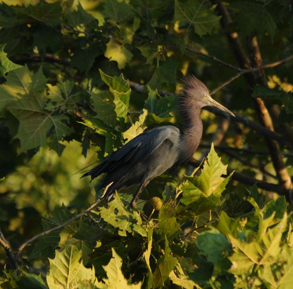 Little Blue Heron full full adult