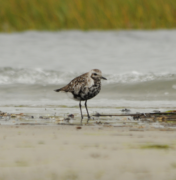Black-bellied Plover_ad molting to basic