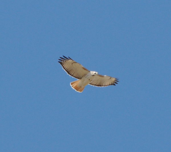 Light phase Eastern Red-tailed Hawk with Kriders introgression