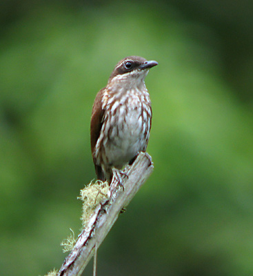 Stripe-breasted Rhabdornis