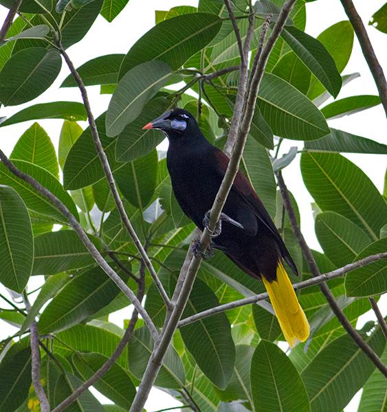 Black-Oropendola-Darien-NP-Panama-18-March-2013-Edited--IMG_8478.jpg