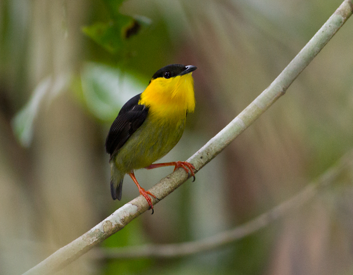 Golden-collared-Manakin-male-Bayano-area-Panama-17-March-2013-Edited-IMG_8144.jpg
