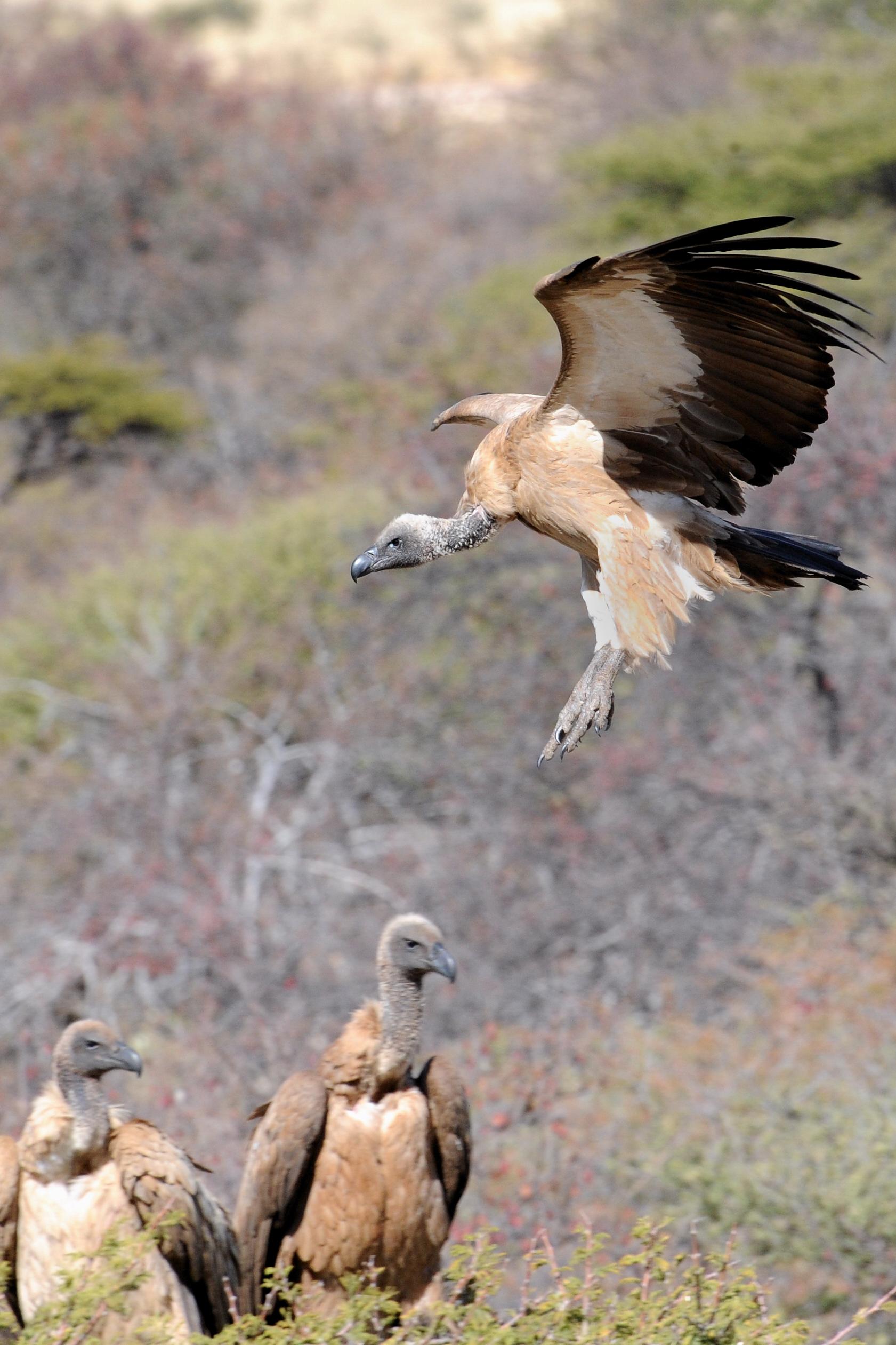 Vulture Approach.jpg