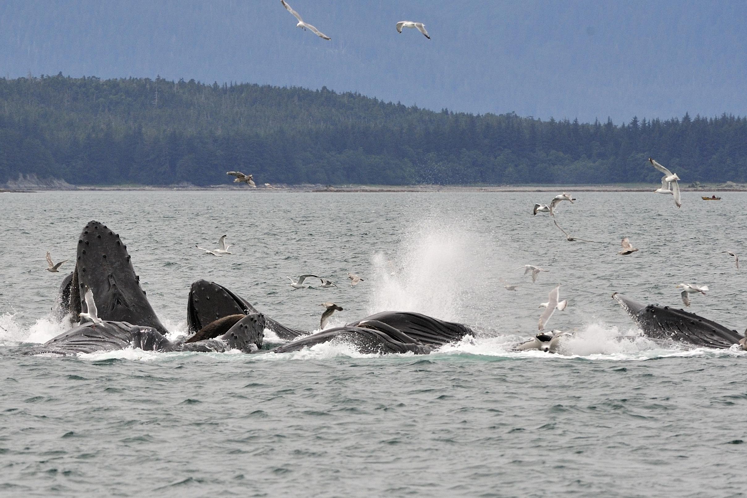 AlaskaWhales09d.jpg