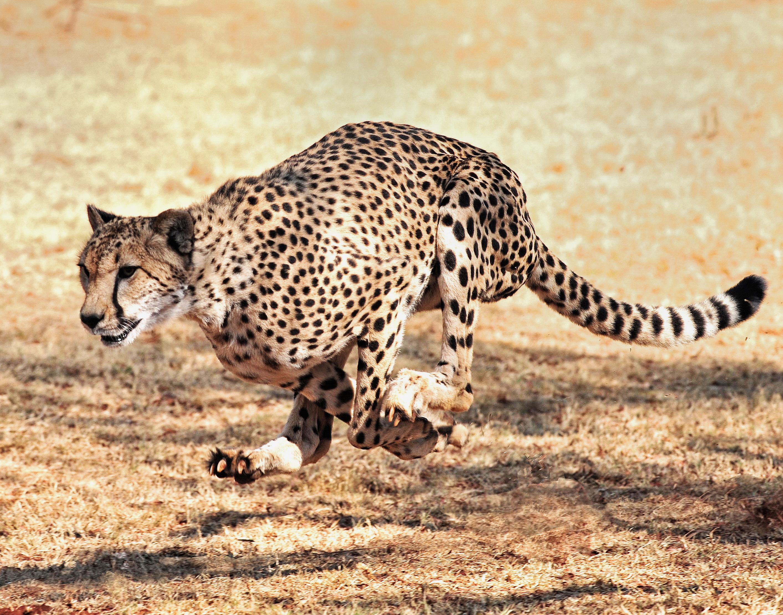 Botswana Cheetah