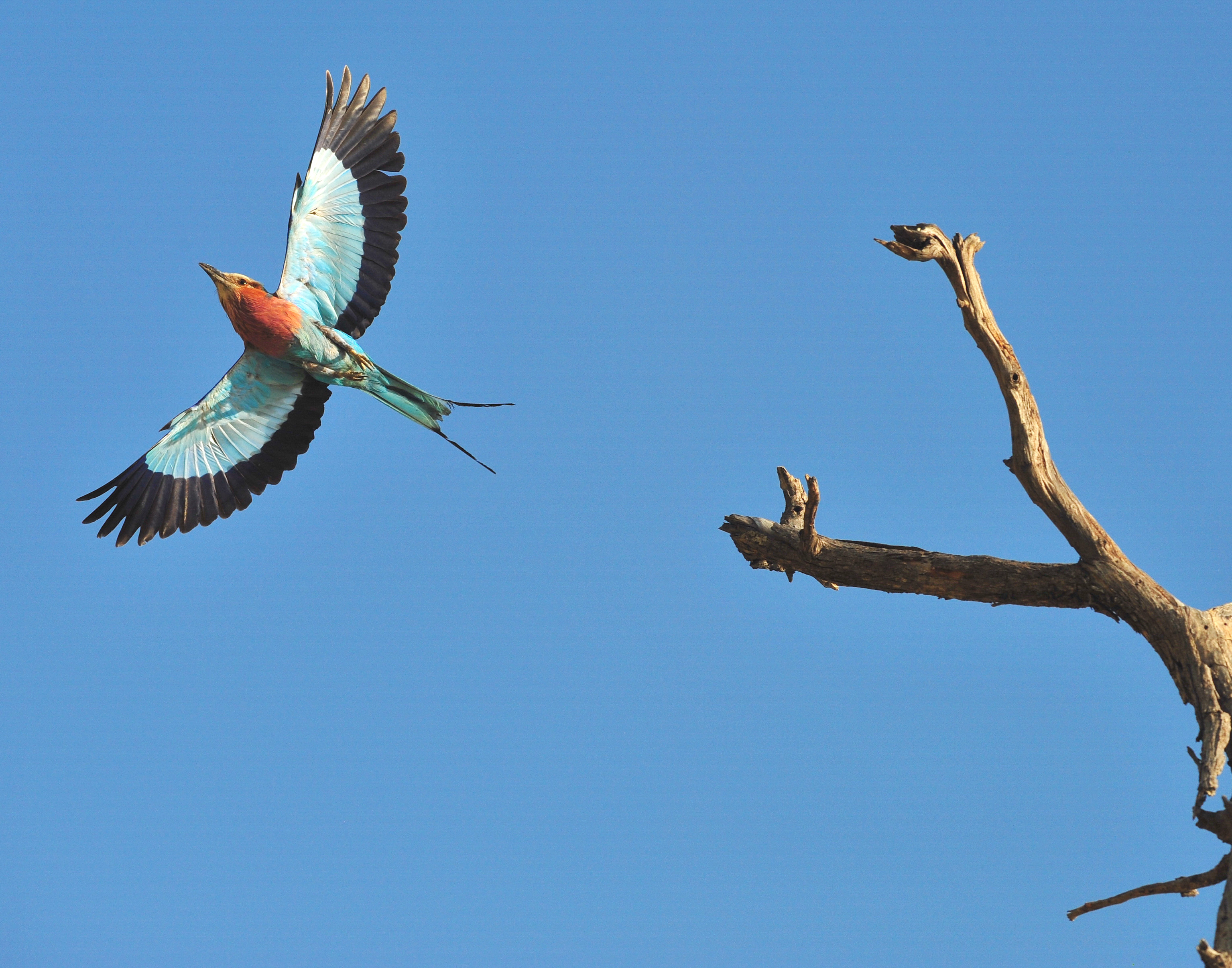 Botswana Lilac Breasted Roller