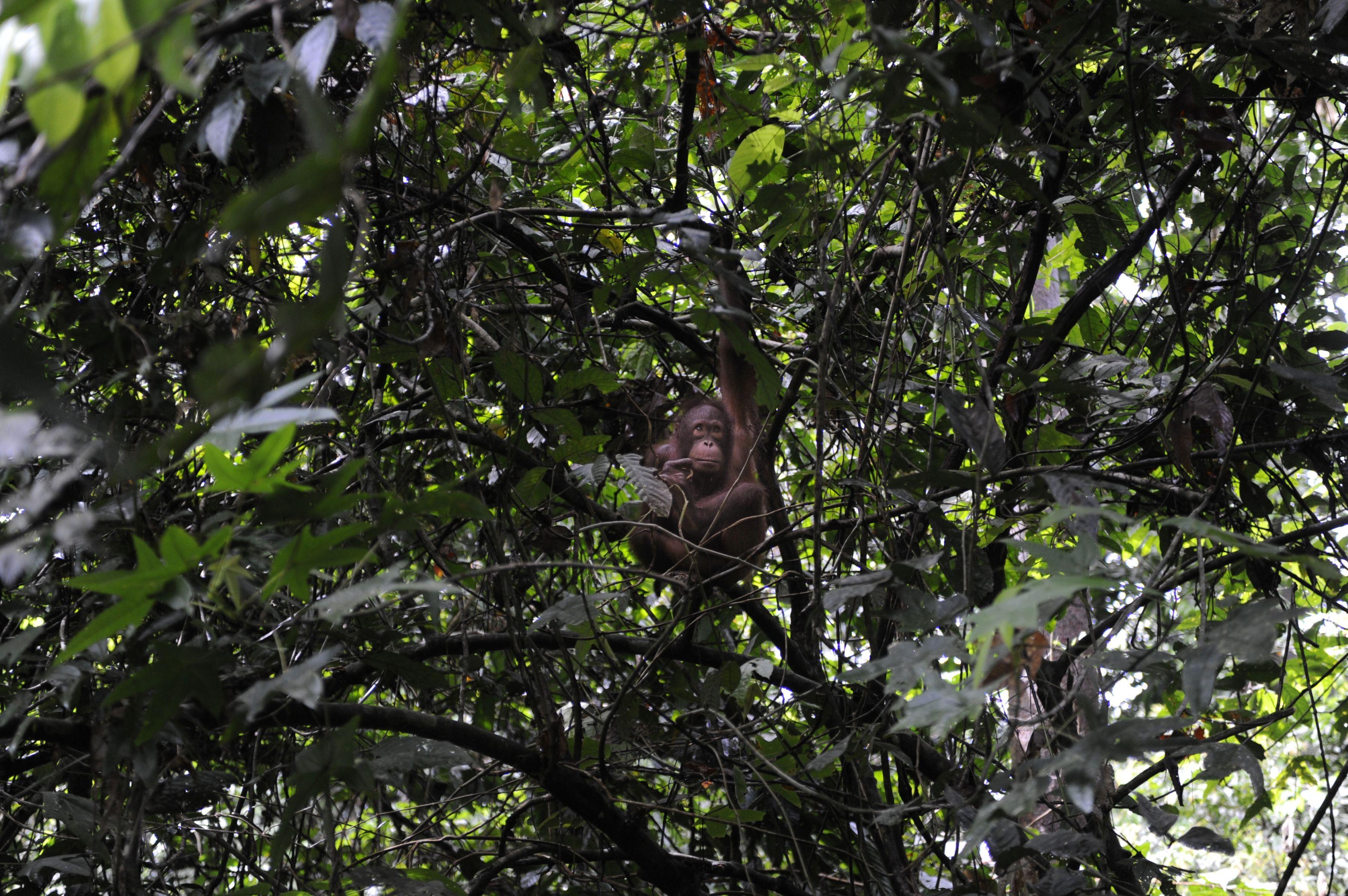 Orangutan 1 - Borneo