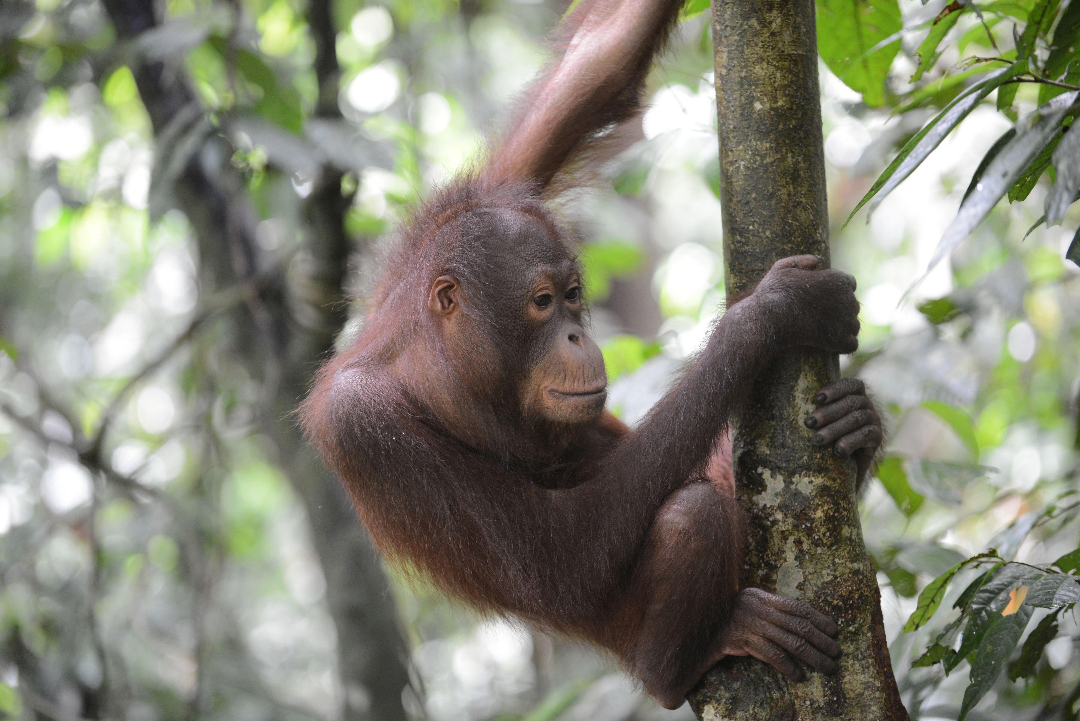 Orangutan 3 - Borneo