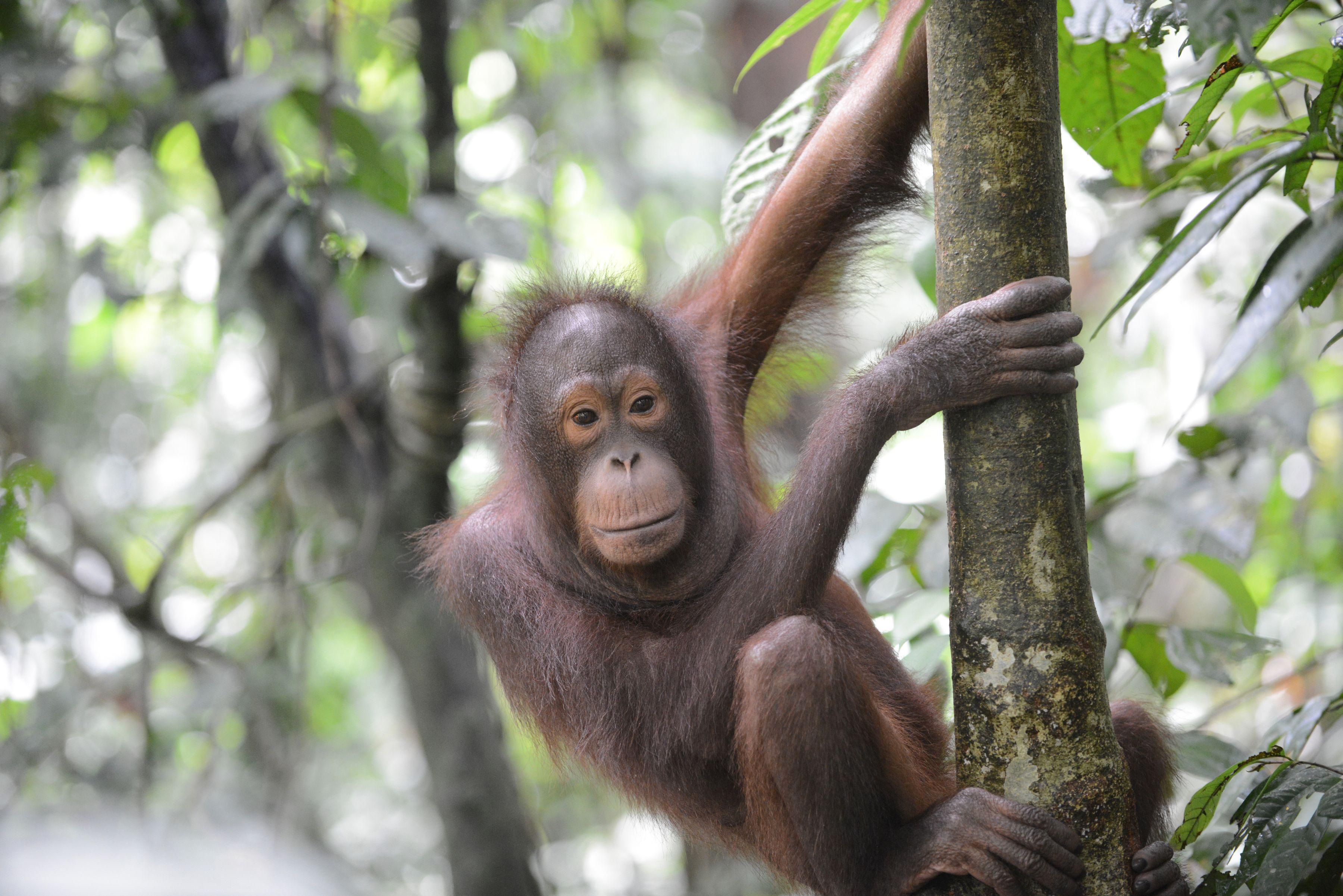 Orangutan 4 - Borneo