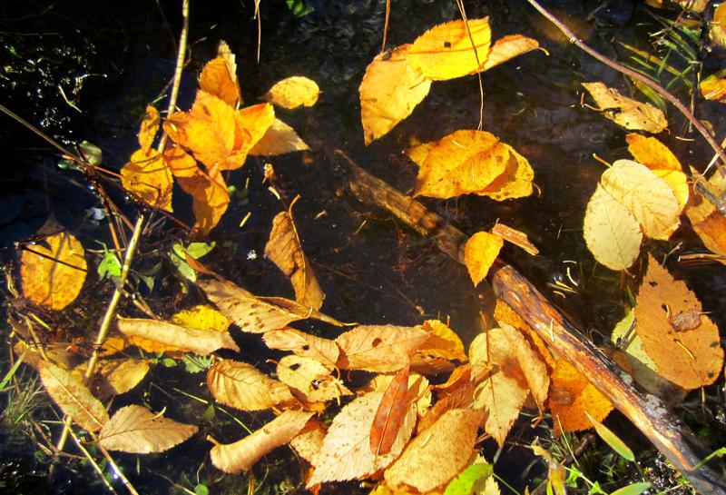feuilles flottantes