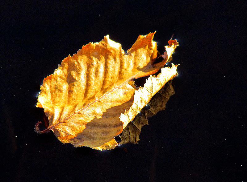 feuille flottante sur la rivière Mistassini