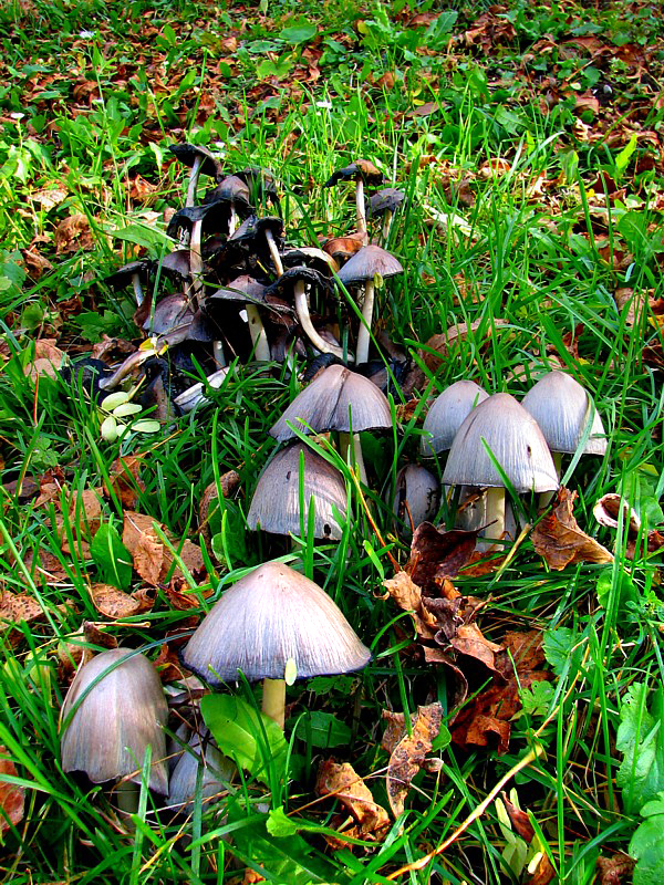 champignons de Beauport